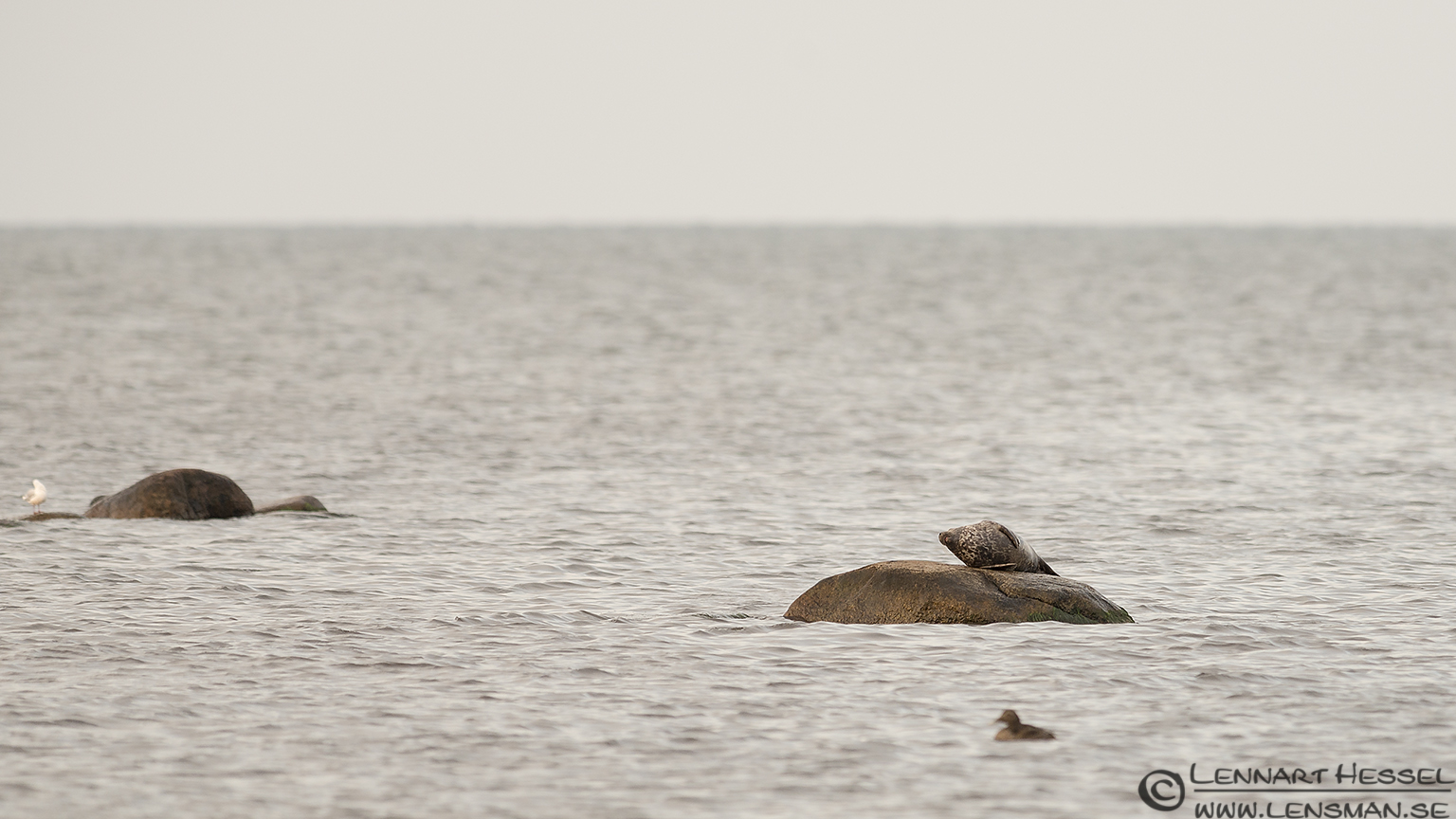 Seal island Öland 2012
