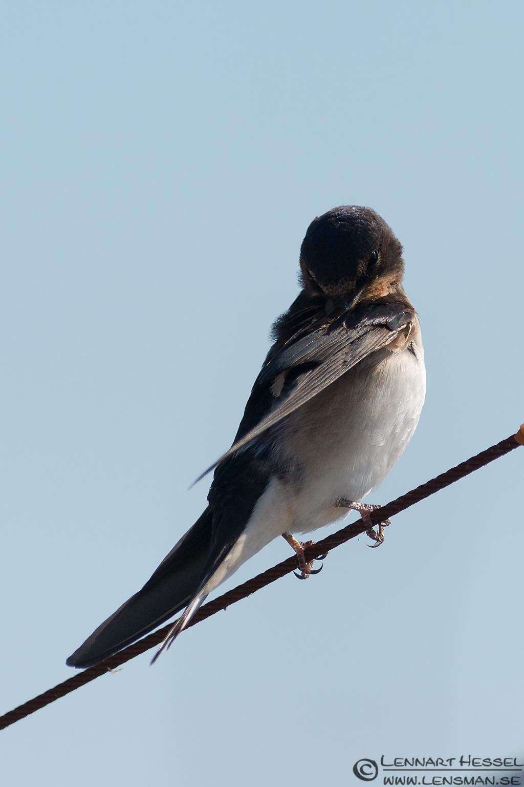 Barn Swallow look Öland 2012