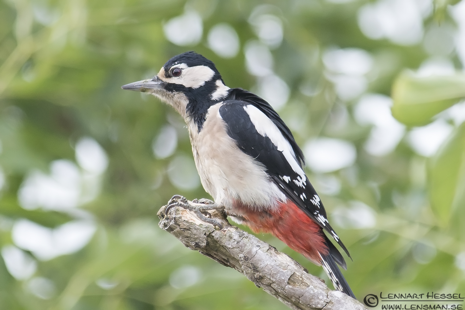 Greater Spotted Woodpecker Öland 2012