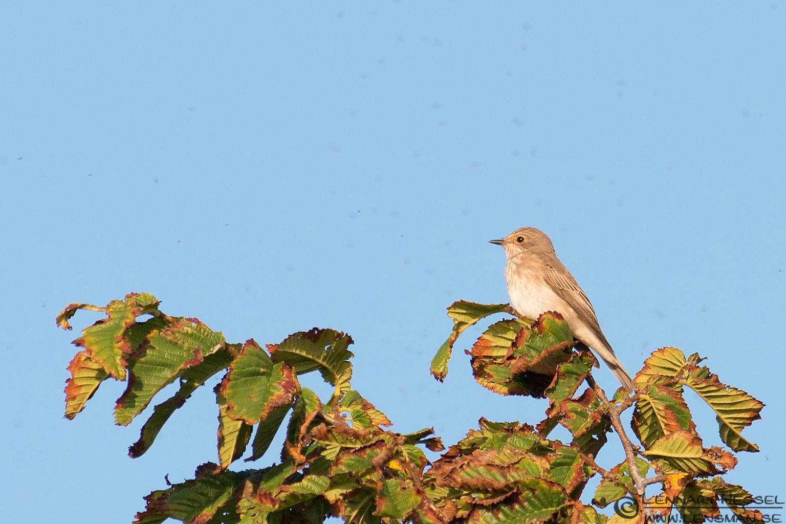Spotted Flycatcher Öland 2012