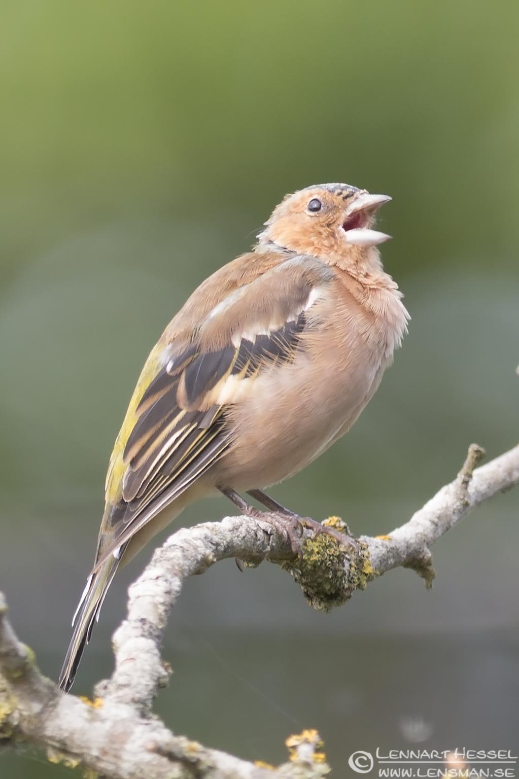 Chaffinch chirping Öland 2012