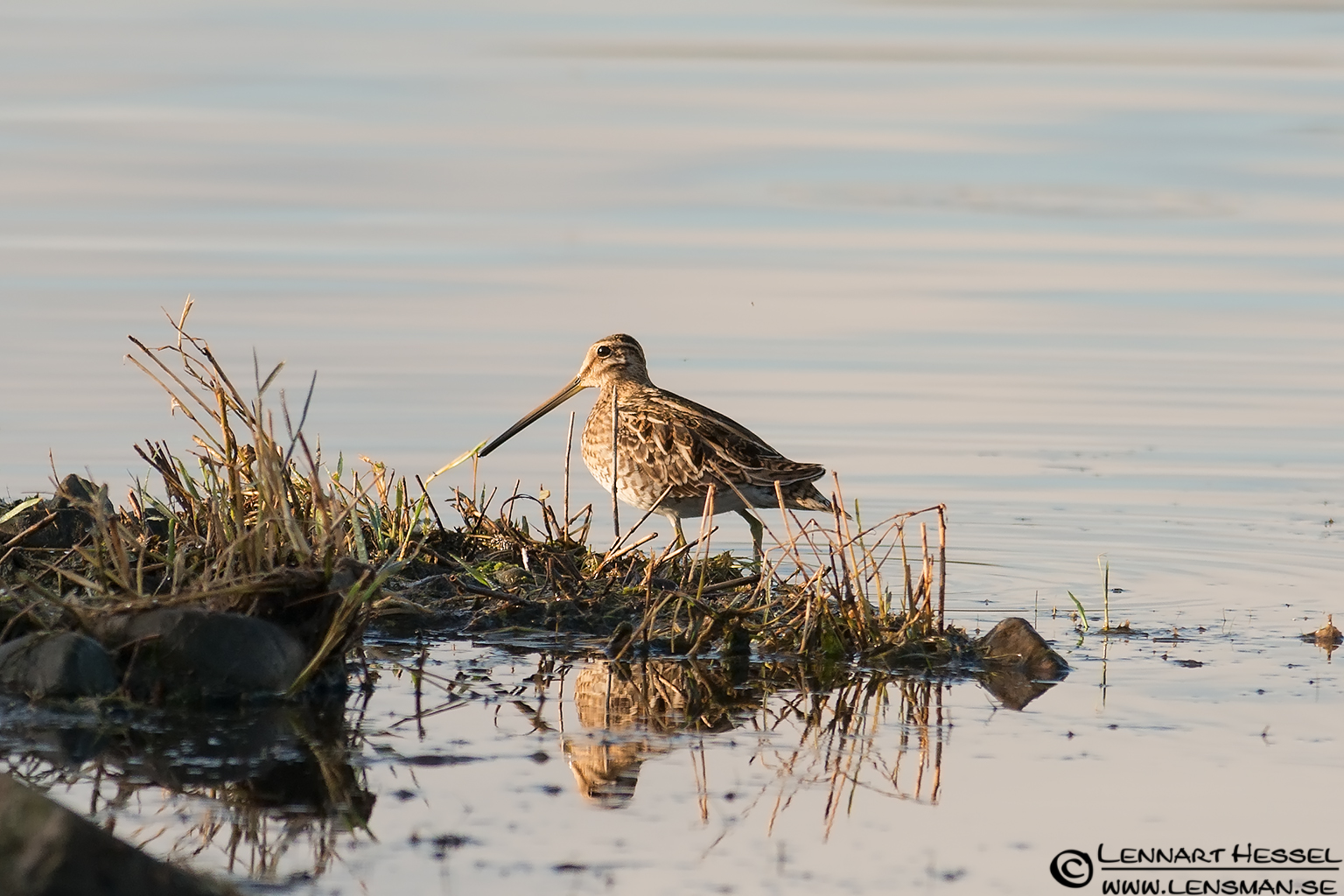 Common Snipe autumn