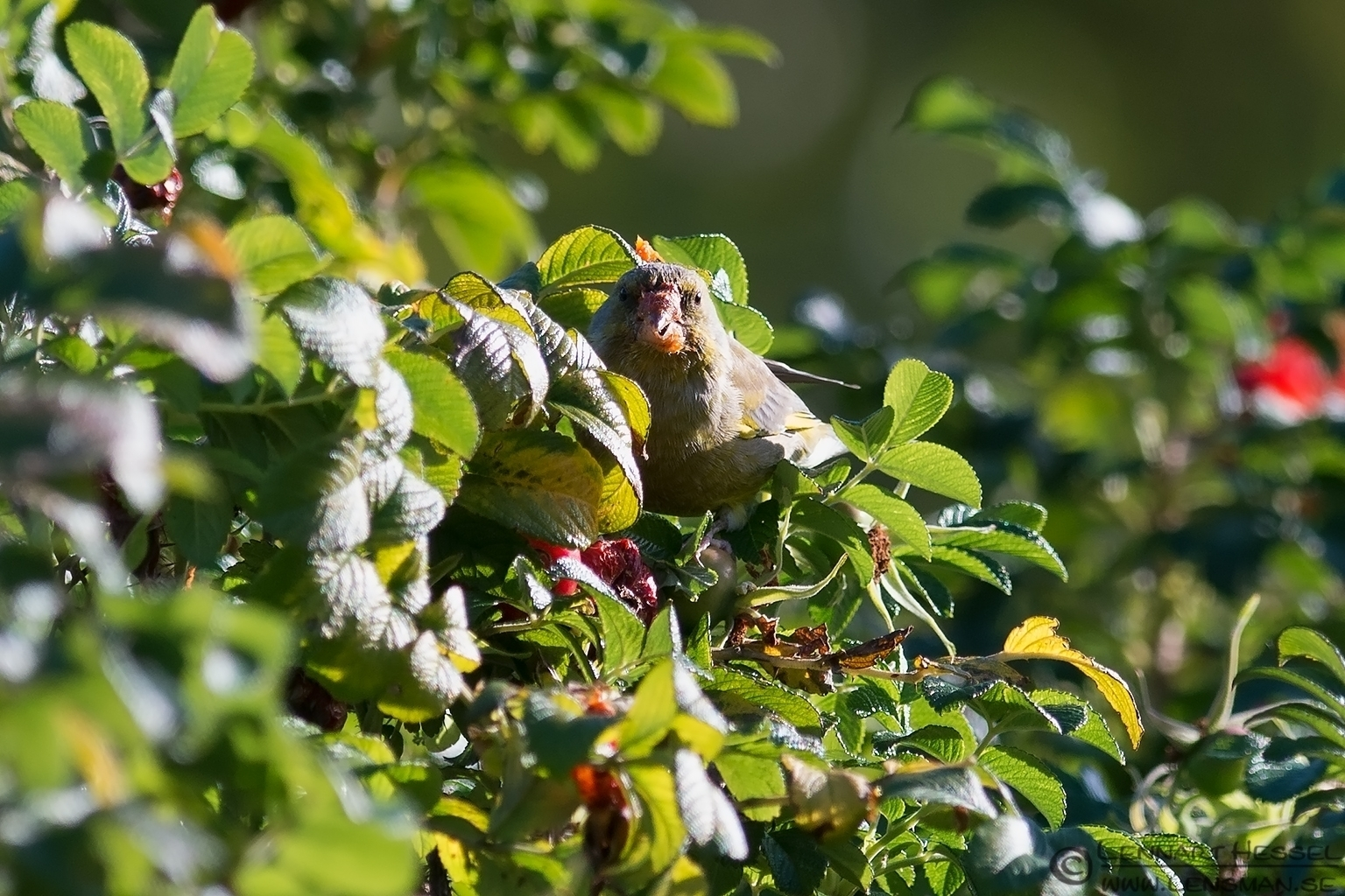 Greenfinch chewing
