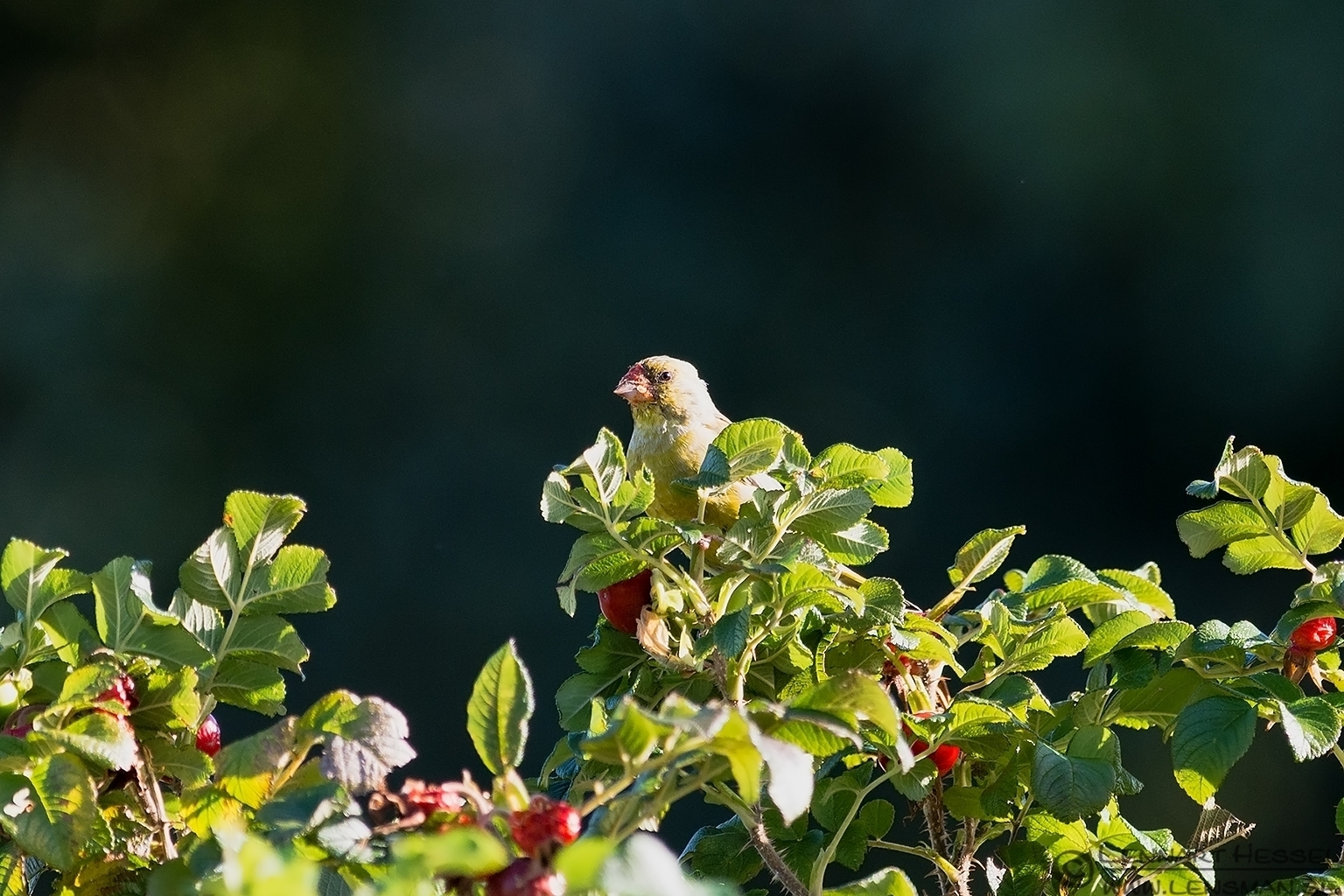 Greenfinch in the top of the Rose Hip