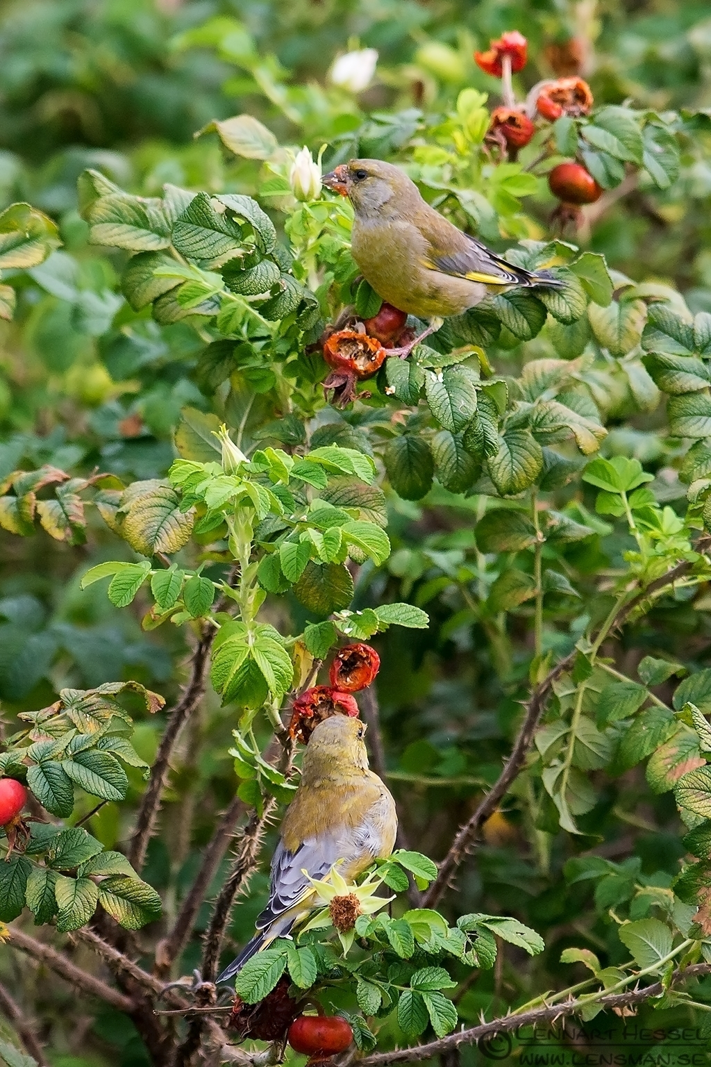 Greenfinches eating rose hip, greenfinch
