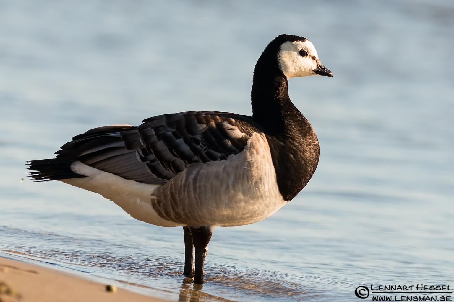 Barnacle Goose Öland 2012