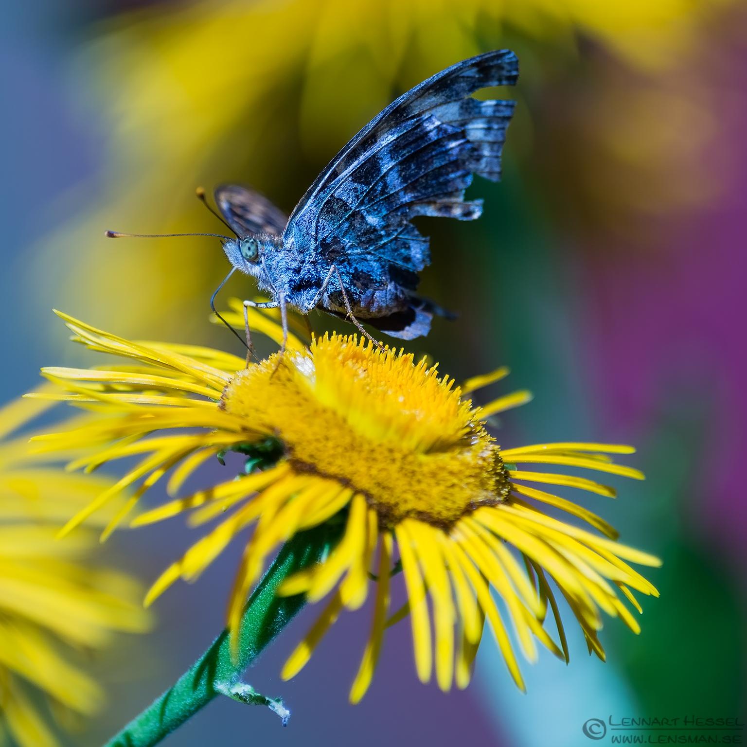 Butterfly, detail portfolio