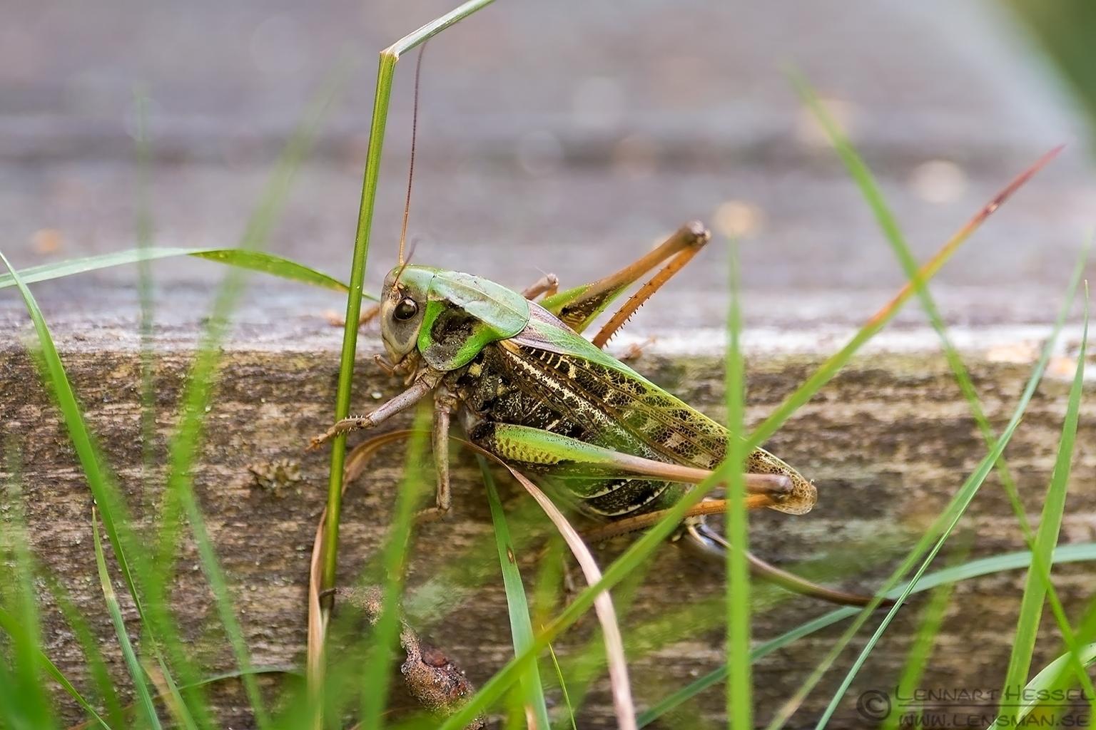 Grasshopper Öland 2012