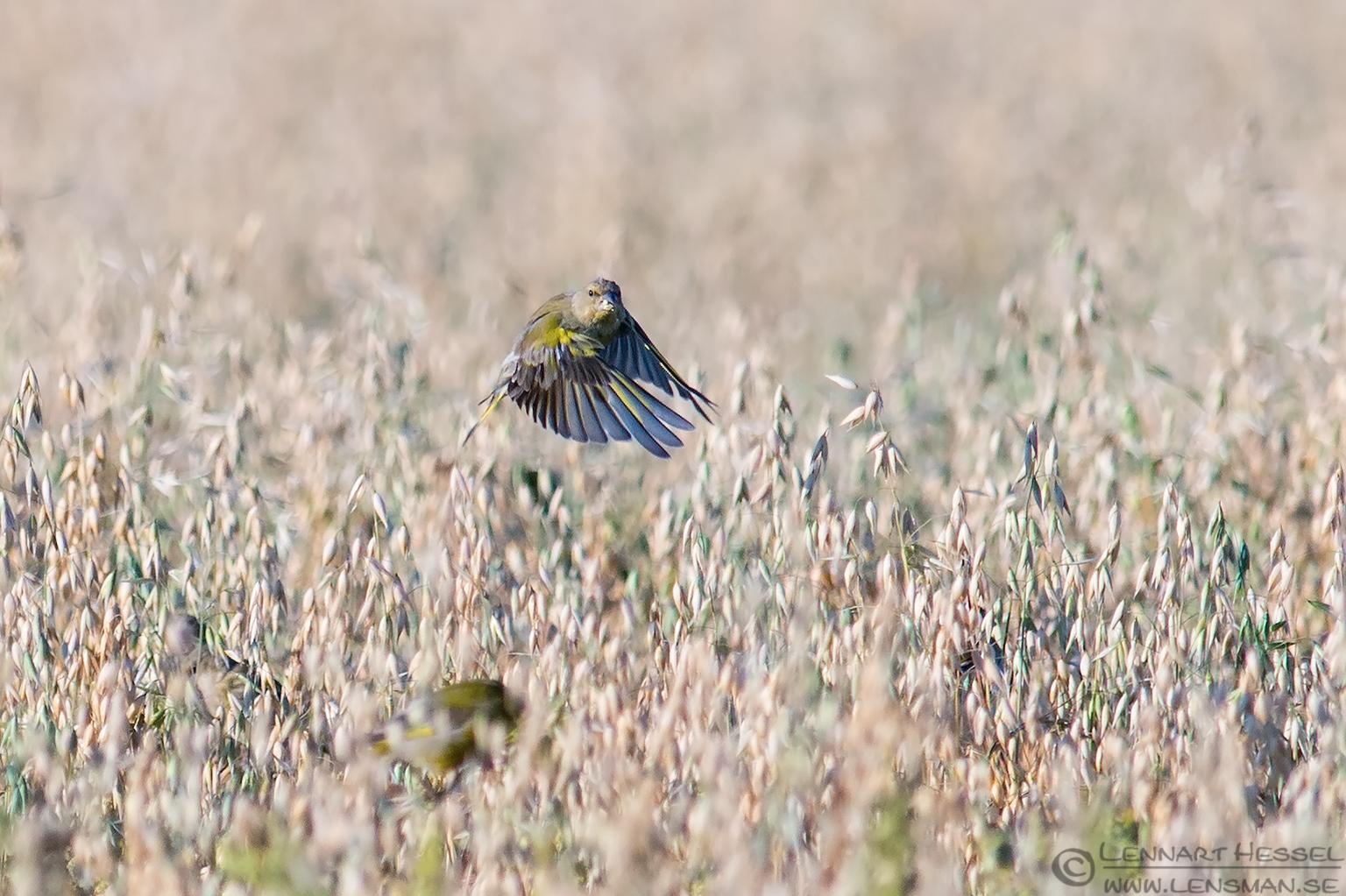 Greenfinch Öland 2012