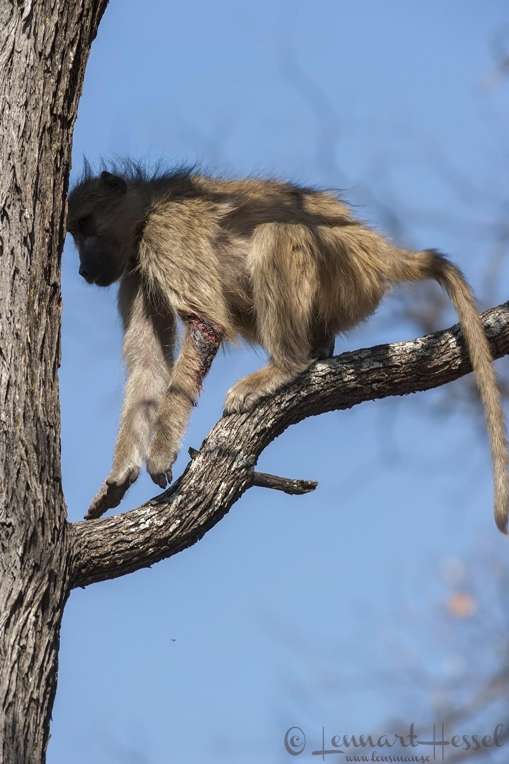 Injured Baboon in Moremi Game Reserve, Botswana - lion