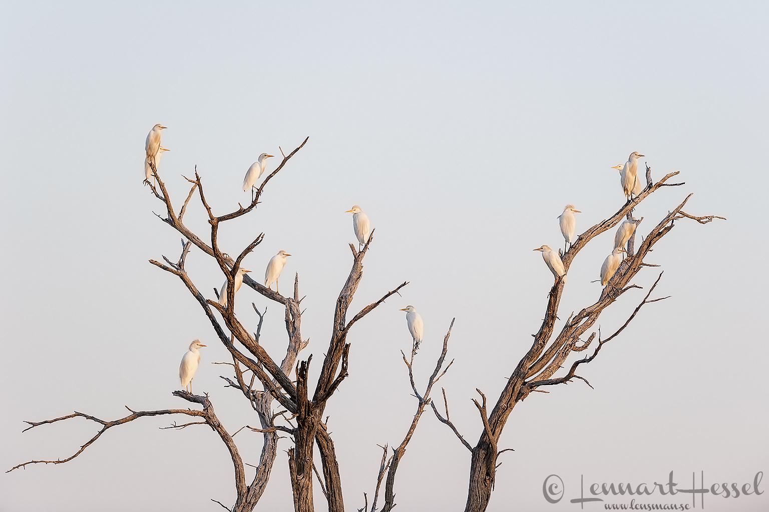 Cattle Egrets in Khwai Community Area, Botswana