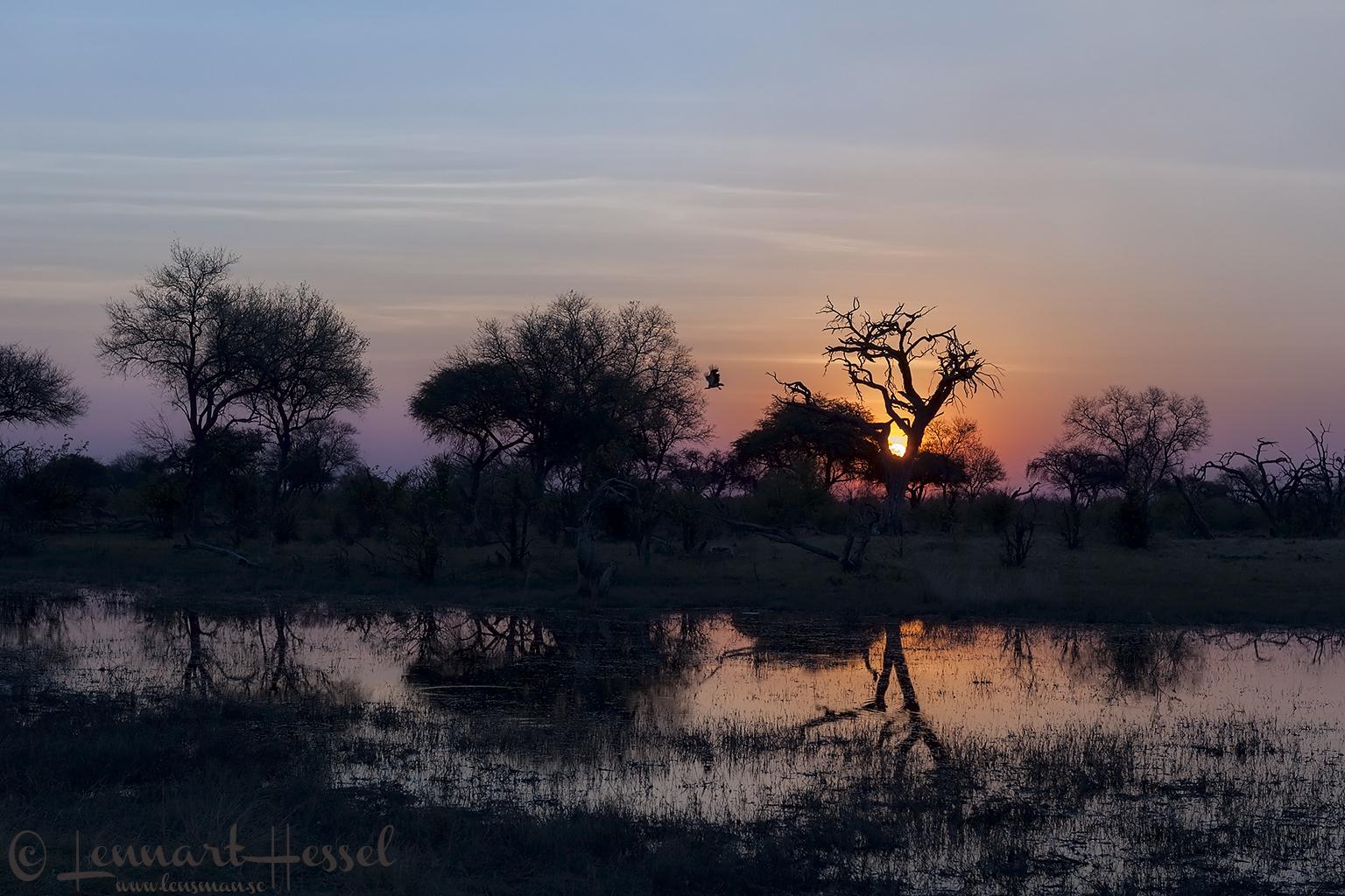 Sunset & White-backed Vulture in Khwai Community Area, Botswana