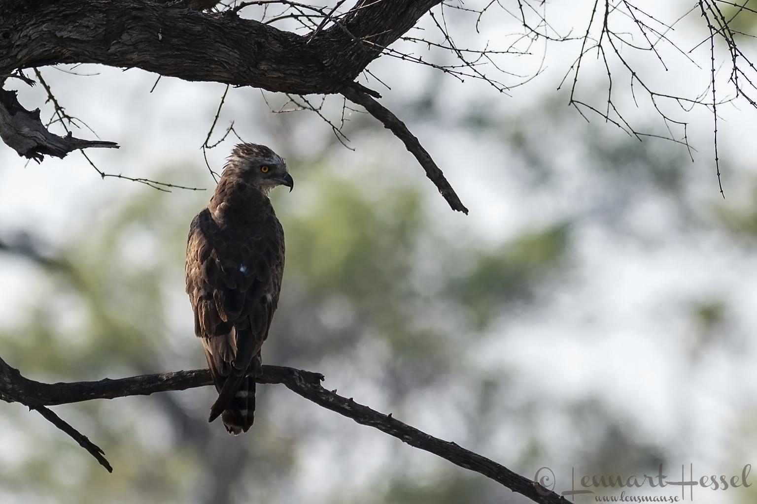 African Bat Hawk 111015