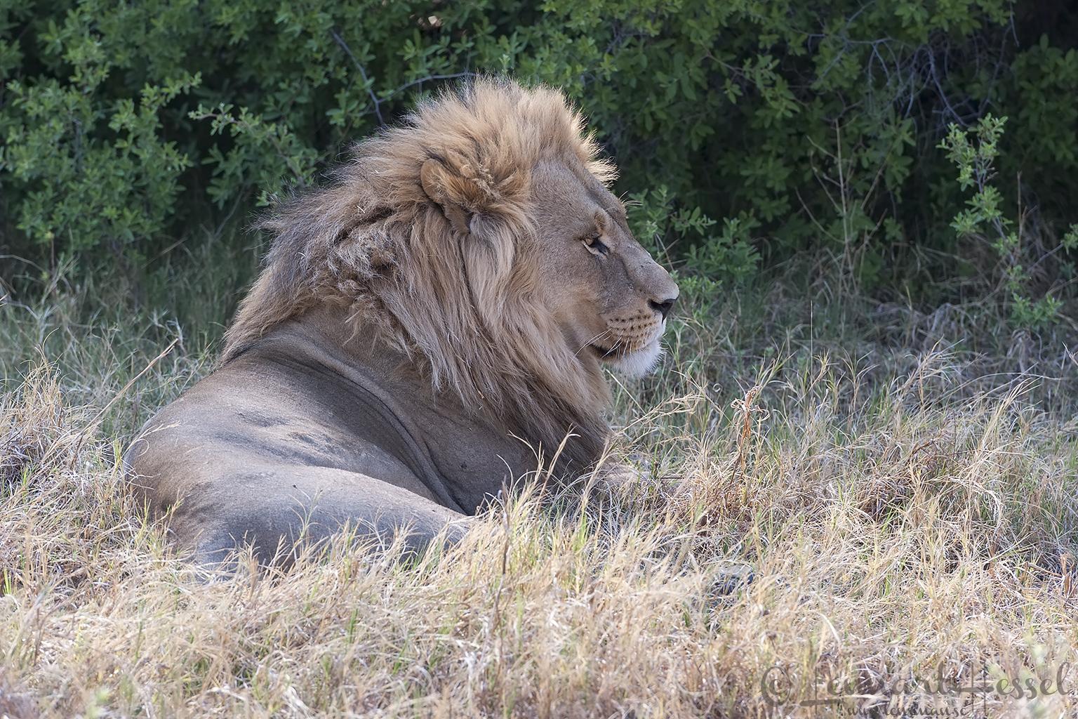 Lion portrait in Khwai Community Area, Botswana