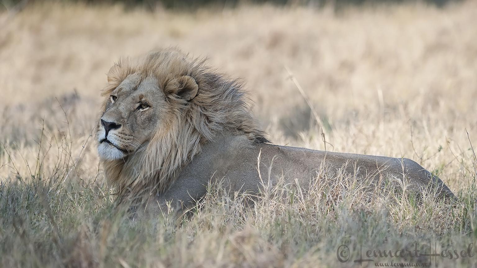 Male Lion in Khwai Community Area, Botswana