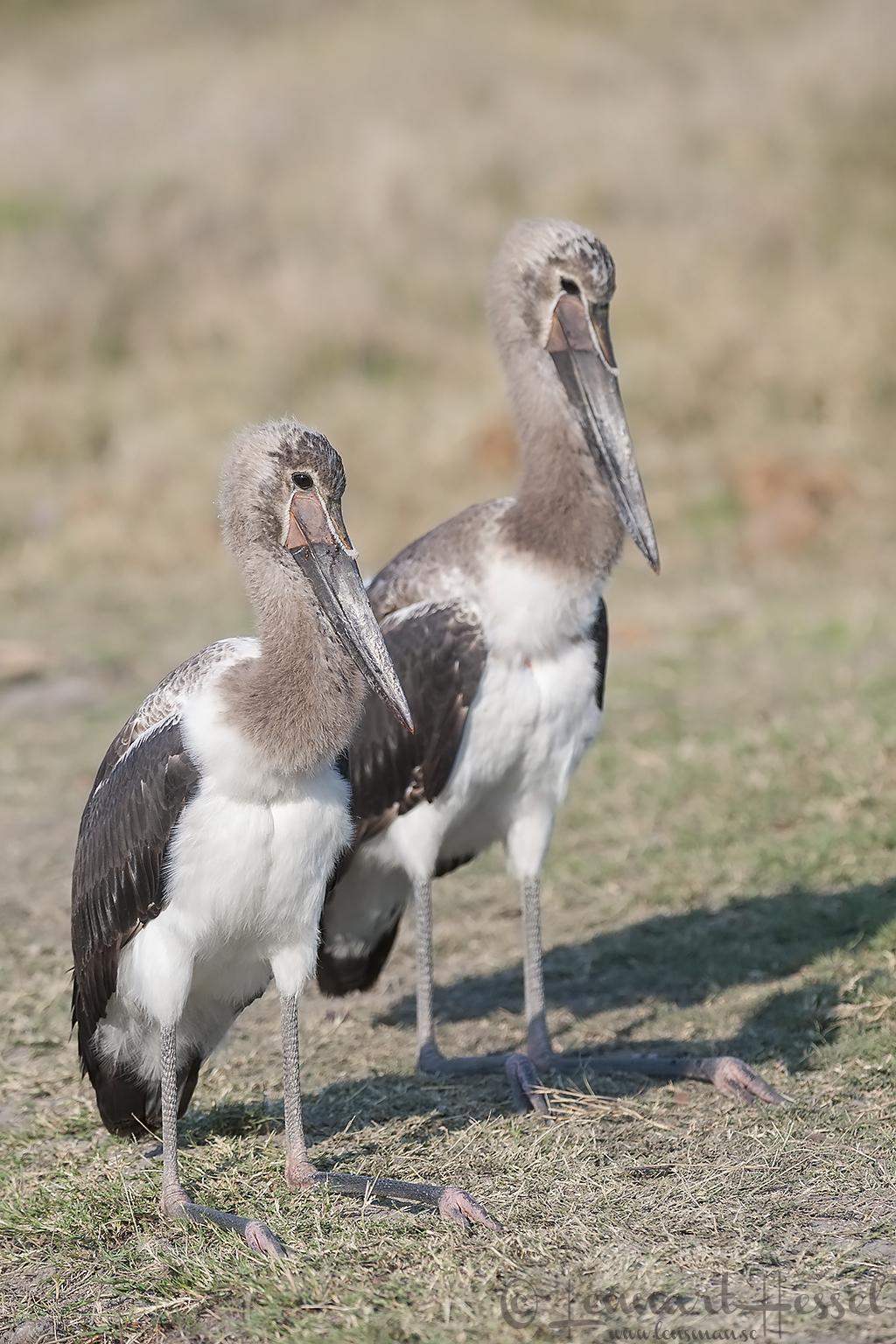 Juvenile Saddle-billed Storks in Khwai Community Area, Botswana