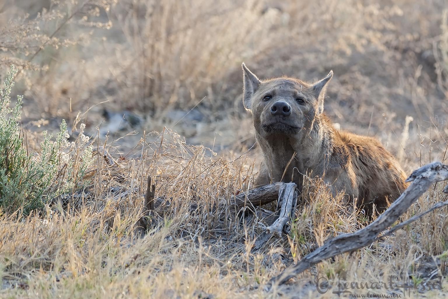 Spotted Hyena in Khwai Community Area, Botswana