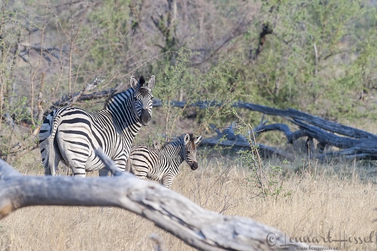 Zebra with foal in Khwai Community Area, Botswana