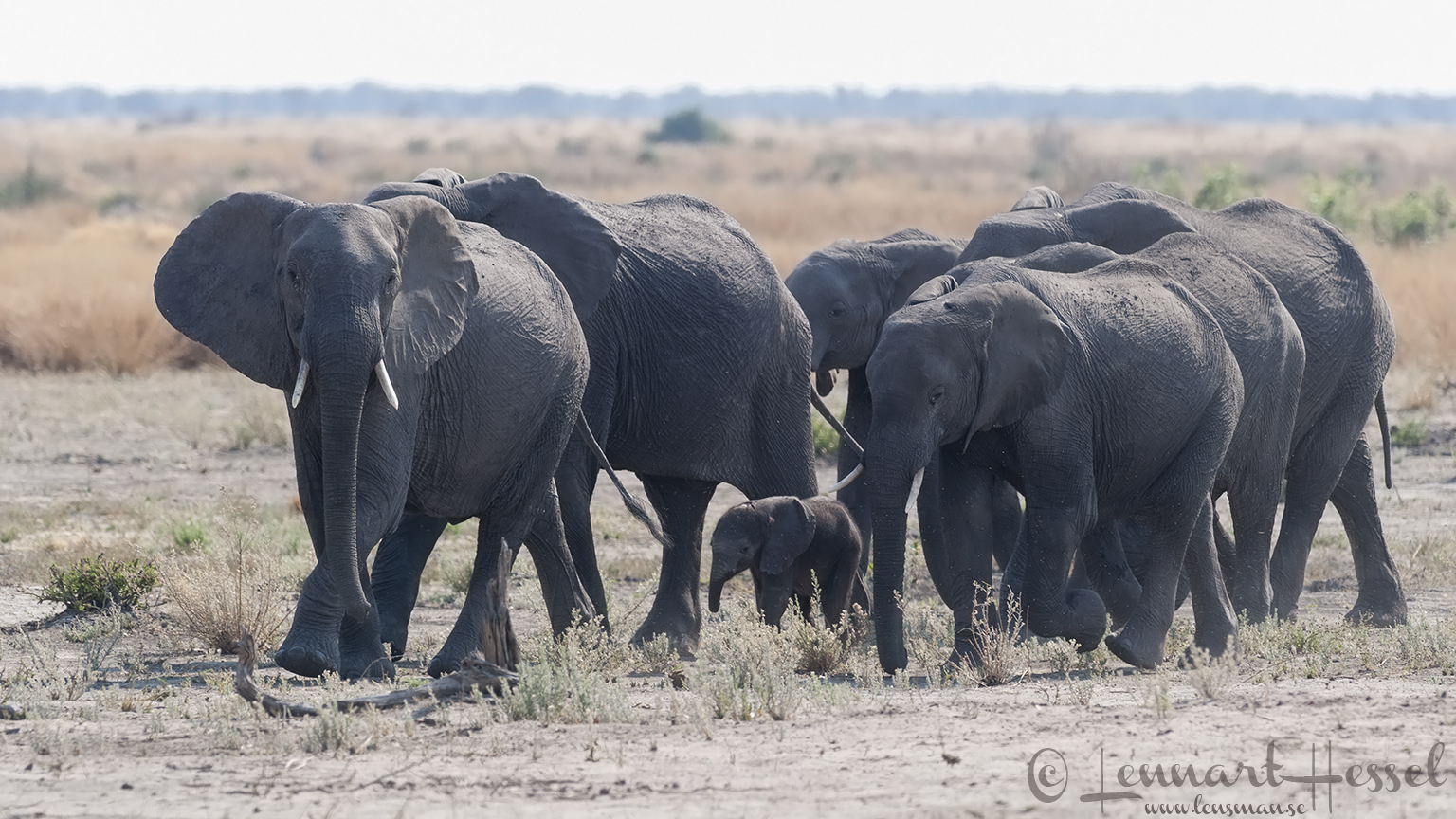 Elephant herd somewhere between in Khwai Community Area adn Savuti, Botswana
