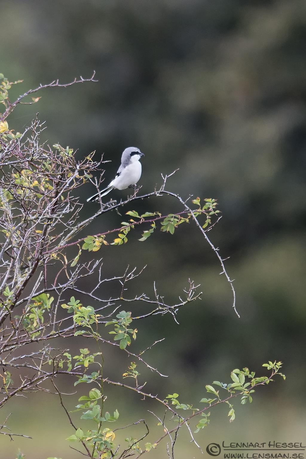 Great Grey Shrike at Stora Amundön