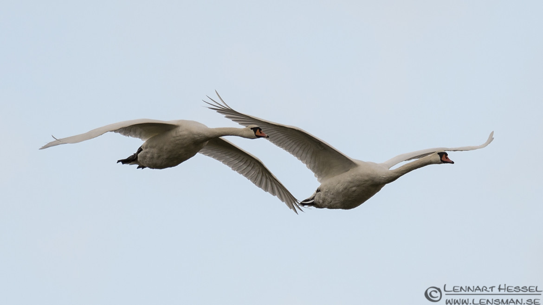 Mute Swans at Stora Amundön ( great grey shrike )