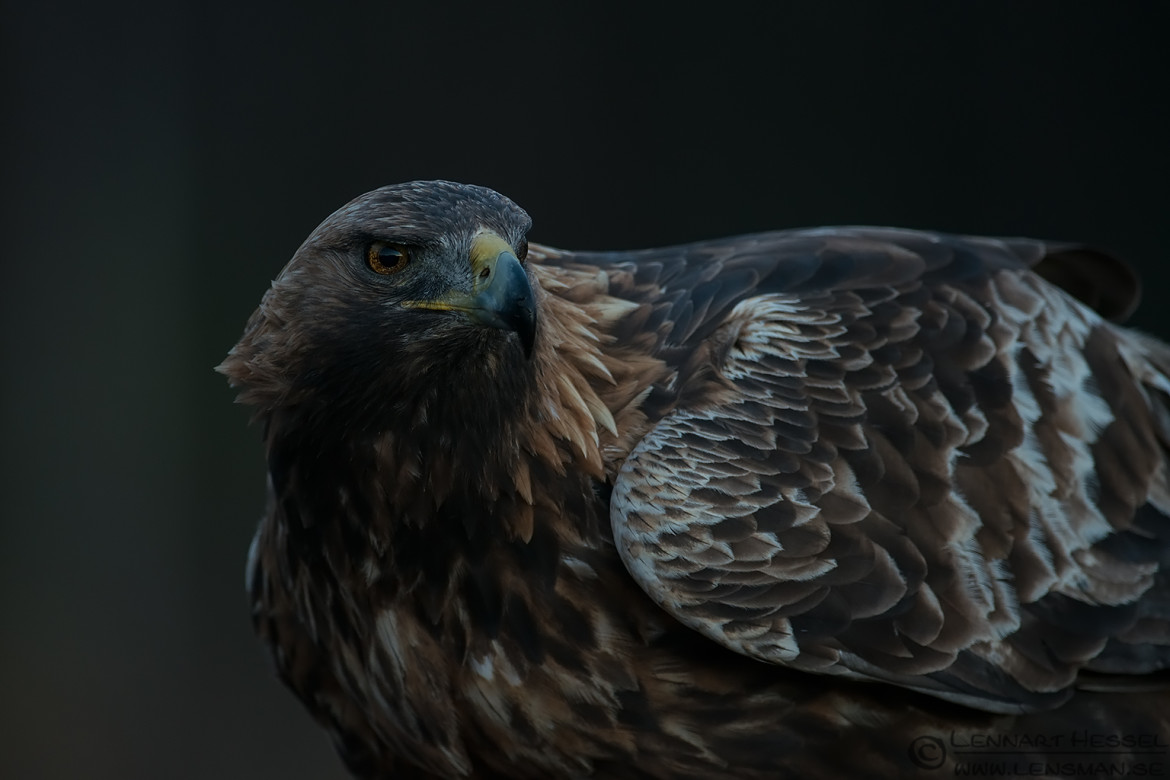 Male Golden Eagle photo from Kalvträsk