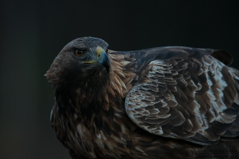 Male Golden Eagle photo from Kalvträsk