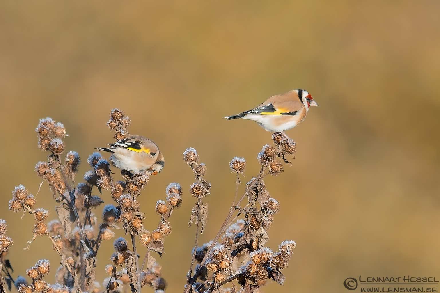 Goldfinches photo from Välen, Gothenburg