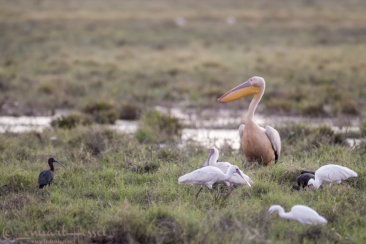 Pelican, African Spoonbills and Glossy Ibises in Savuti, Botswana