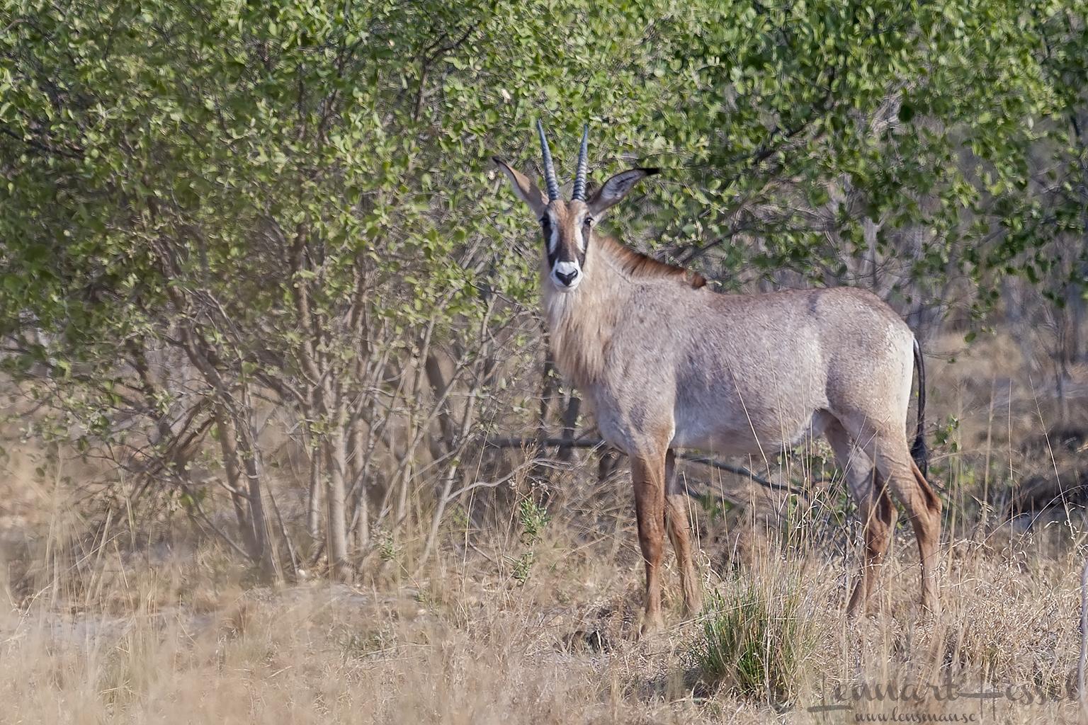 Roan Antelope in Savuti, Botswana