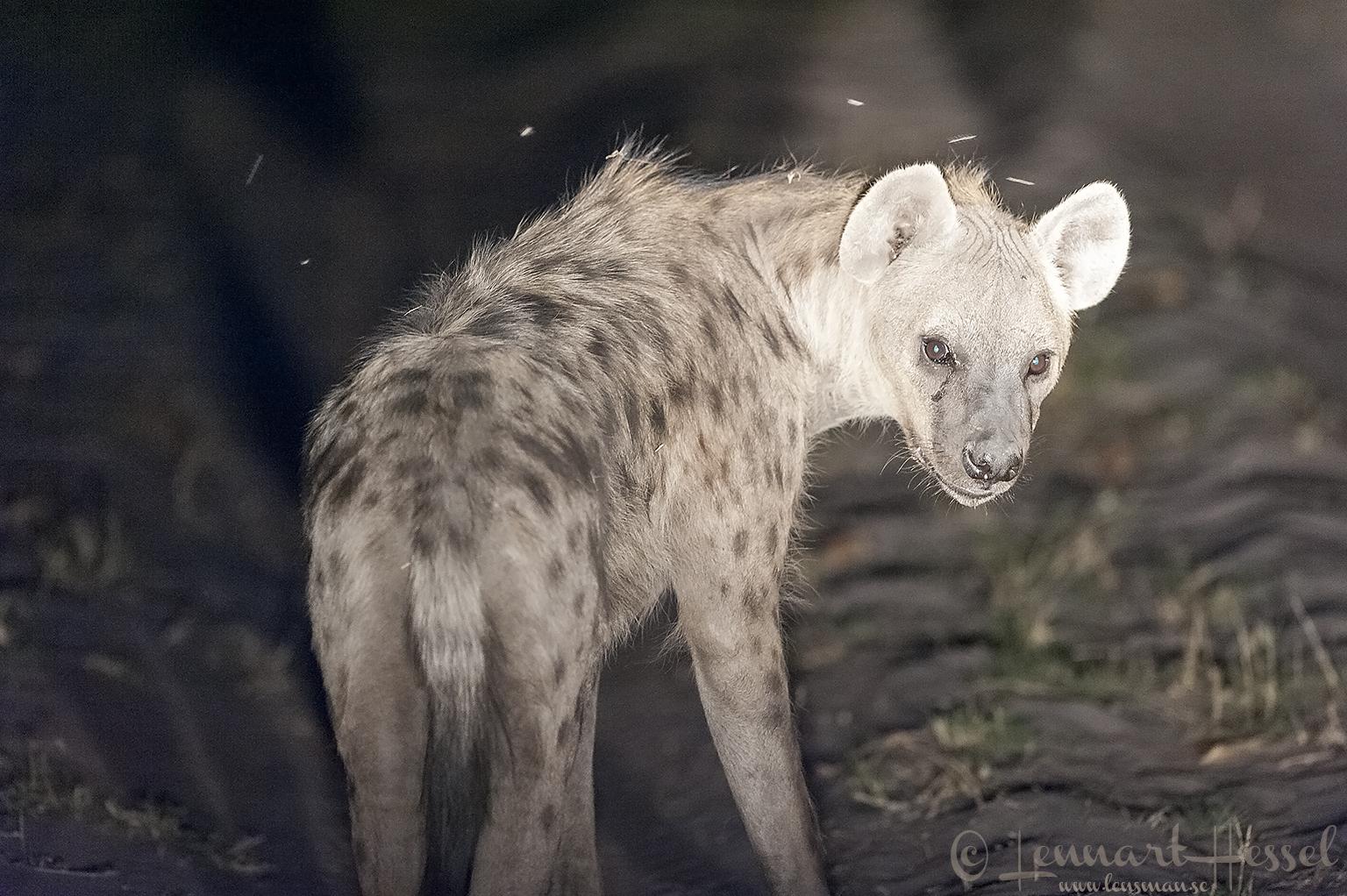 Spotted Hyena in Savuti, Botswana