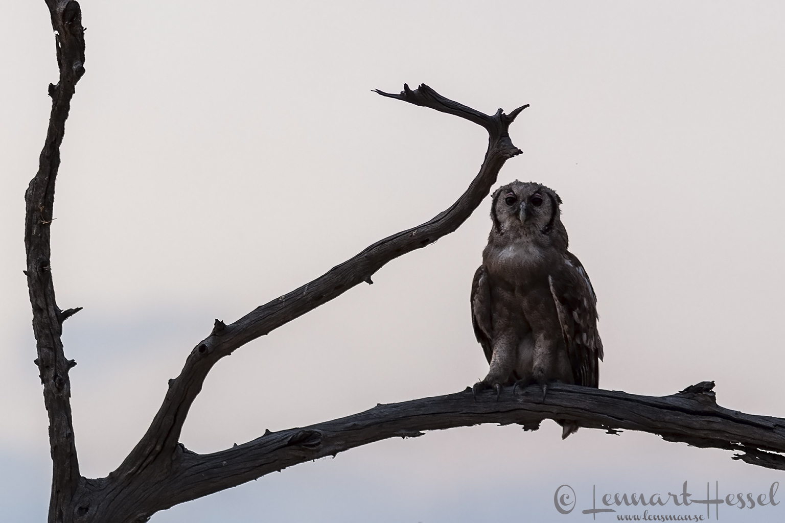 Verraux's Giant Eagle-Owl in Savuti, Botswana