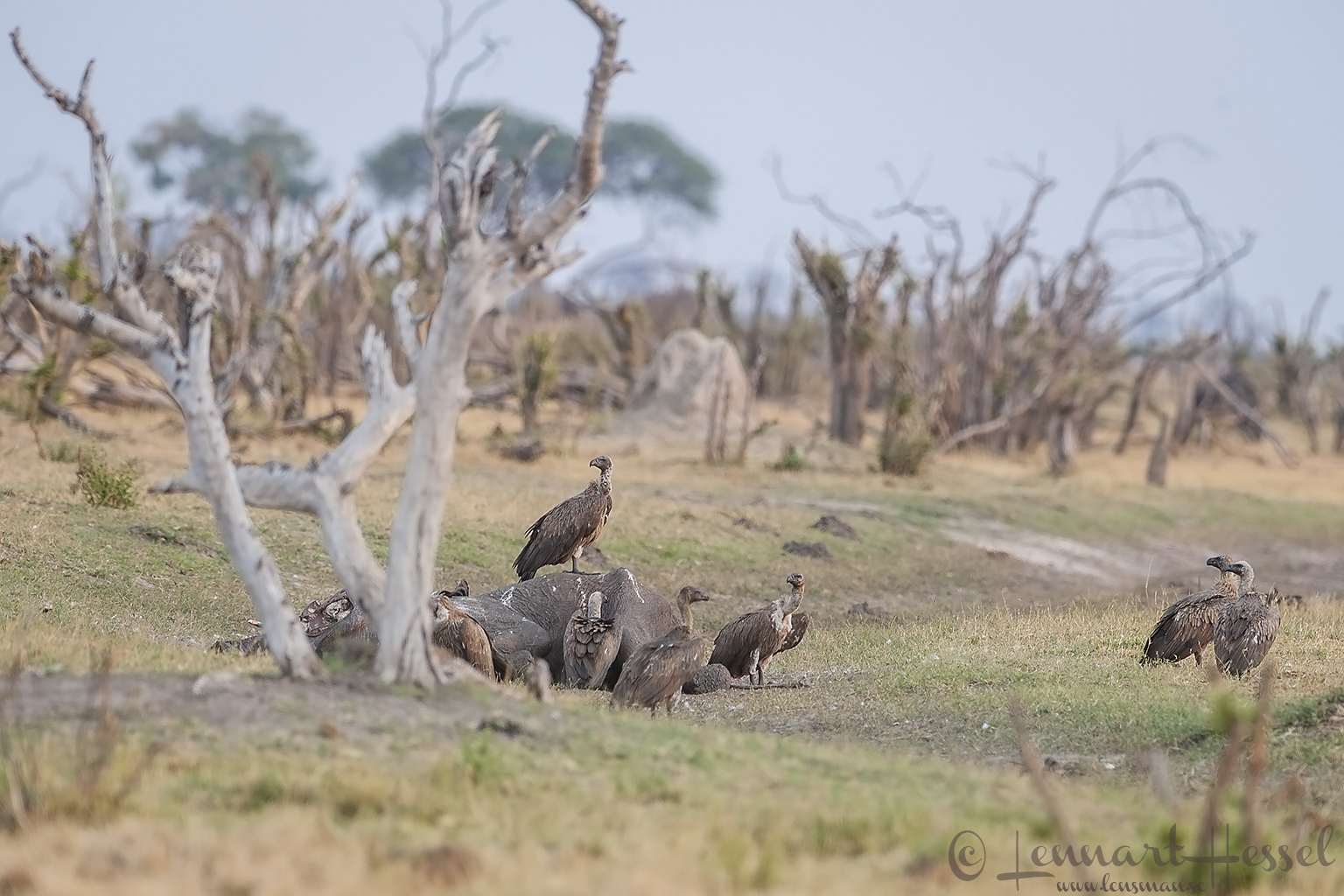 White backed Vultures in Savuti, Botswana