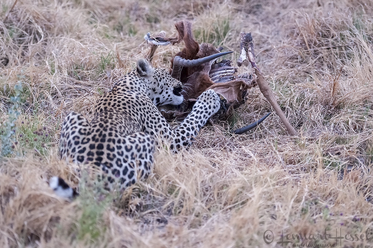 Leopardess eating photo from Savuti, Botswana