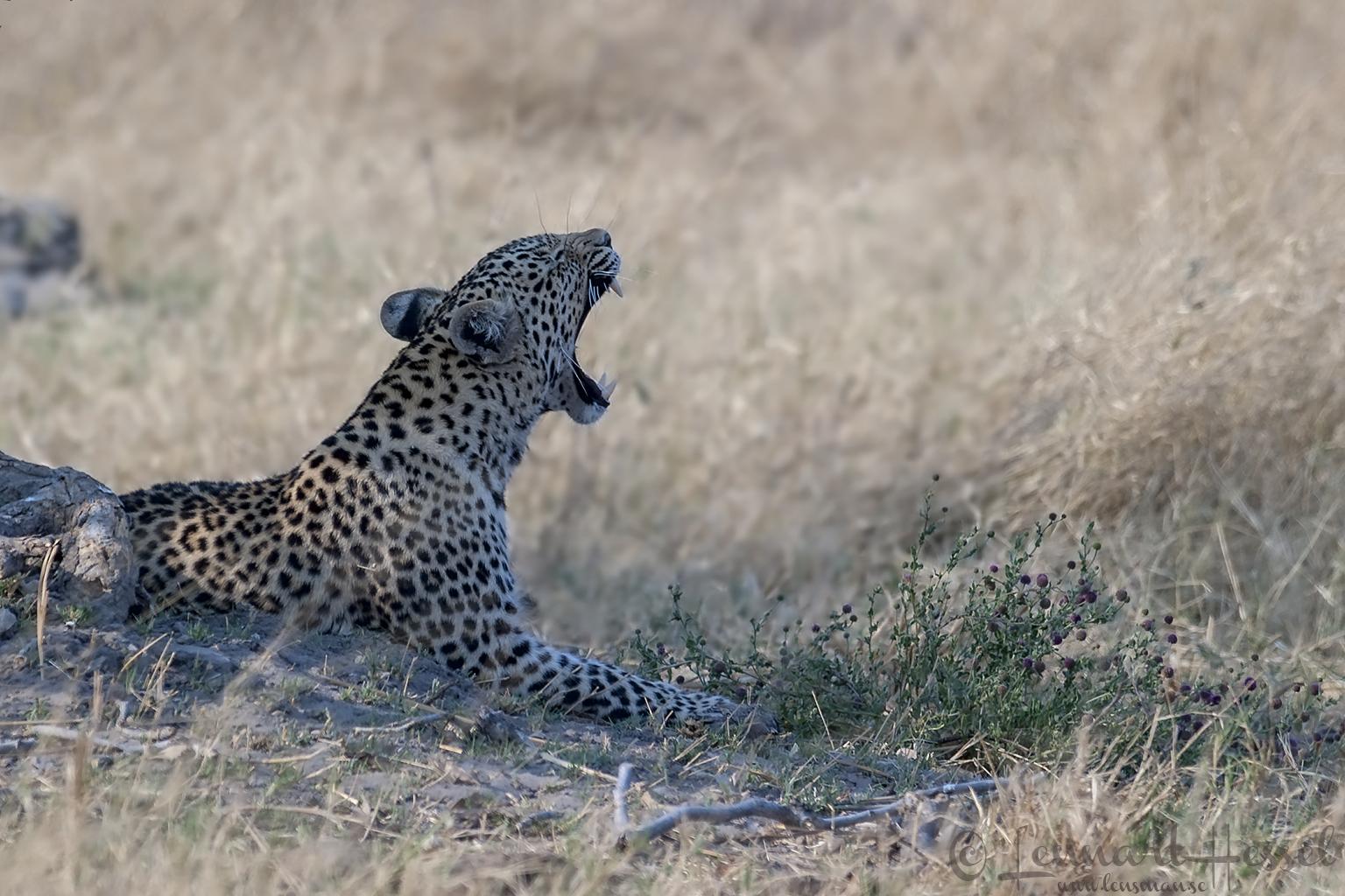 Leopardess yawning in Savuti, Botswana