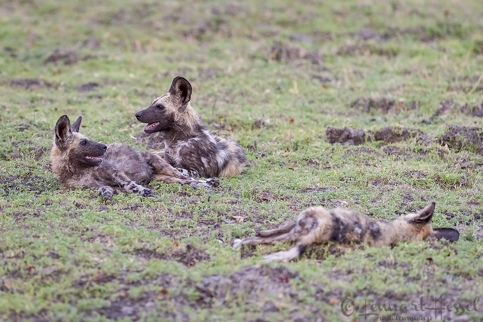 African Wild Dogs resting on the floodplain at Chobe River front, Botswana