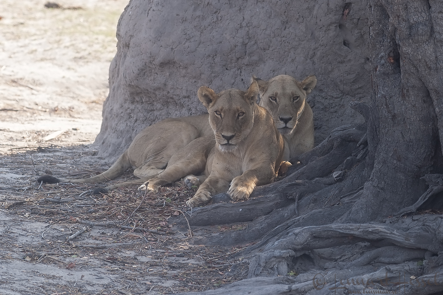 Lionesses on the road from Savuti to Chobe river, Botswana