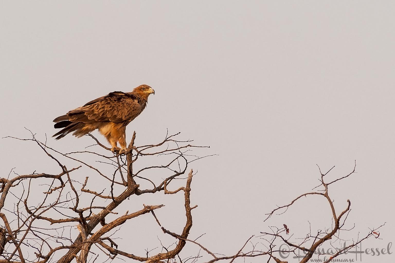 Tawny Eagle in Savuti, Botswana