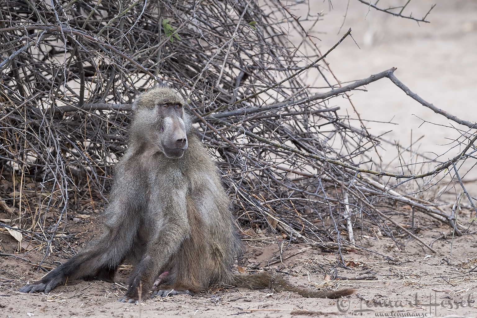 Chacma Baboon at Chobe River area, Botswana