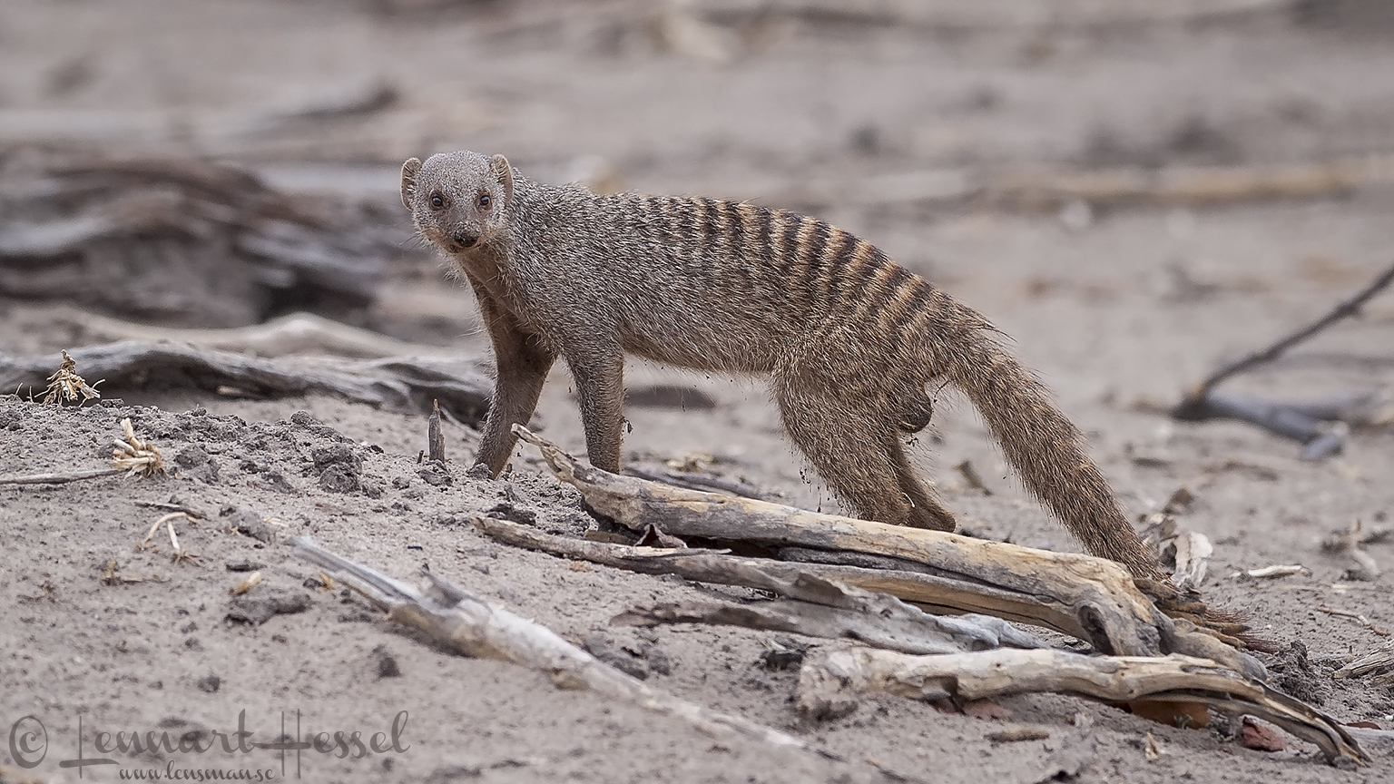 Banded Mongoose at Chobe River area, Botswana
