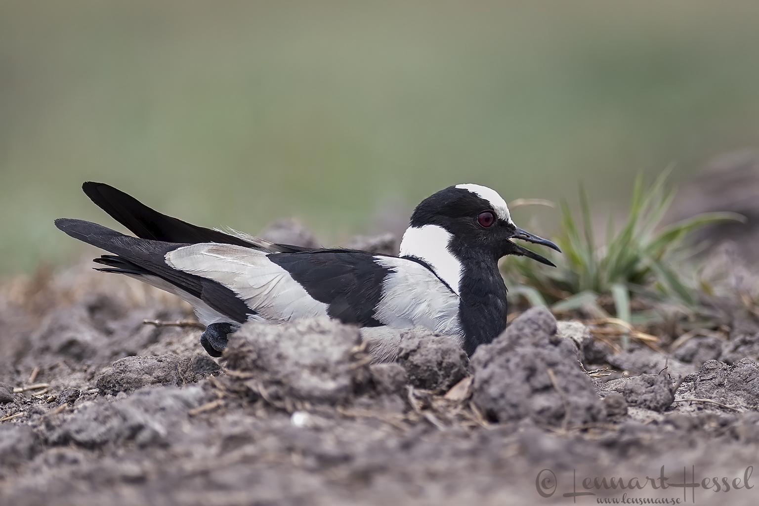 Blacksmith Lapwing at Chobe River, Botswana