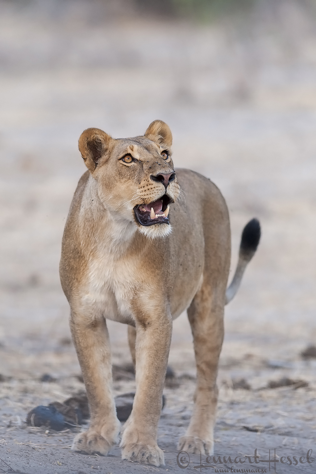Lioness looking up in Chobe River area, Botswana