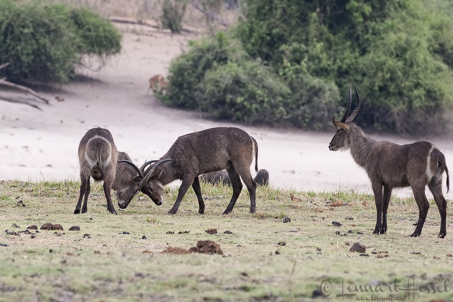 Waterbuck fighting at Chobe floodplains, Botswana
