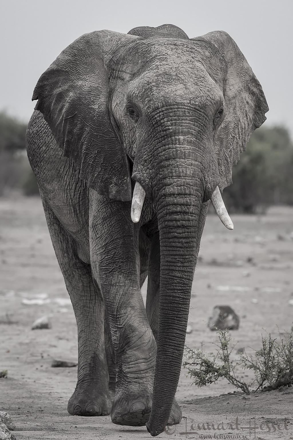 Elephant bull in Chobe River area, Botswana