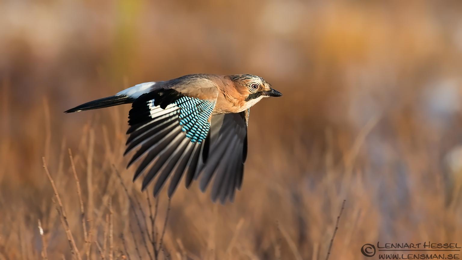 Eurasian Jay, photo from Kalvträsk. National Geographic wild bird