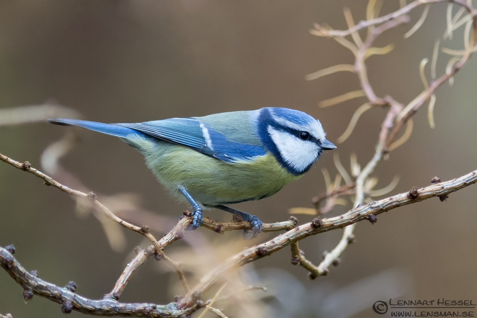 European Blue Tit, photo from Nossebro winter
