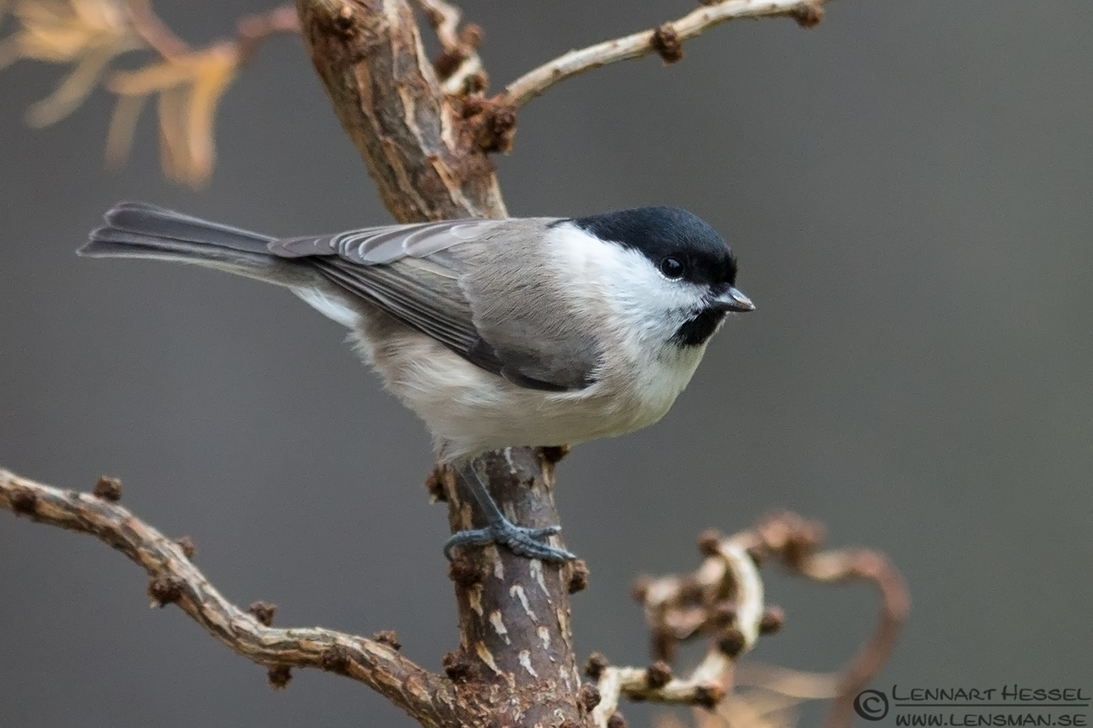 Willow Tit, photo from Nossebro winter