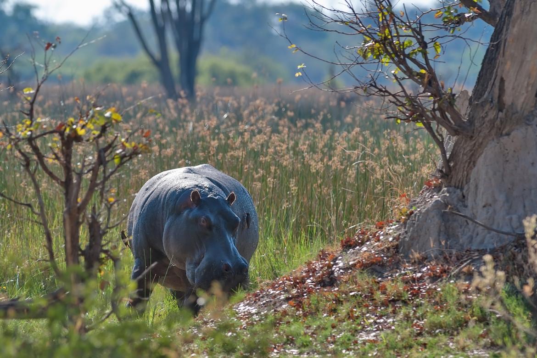 Grazing Hippo seen on safari in Botswana