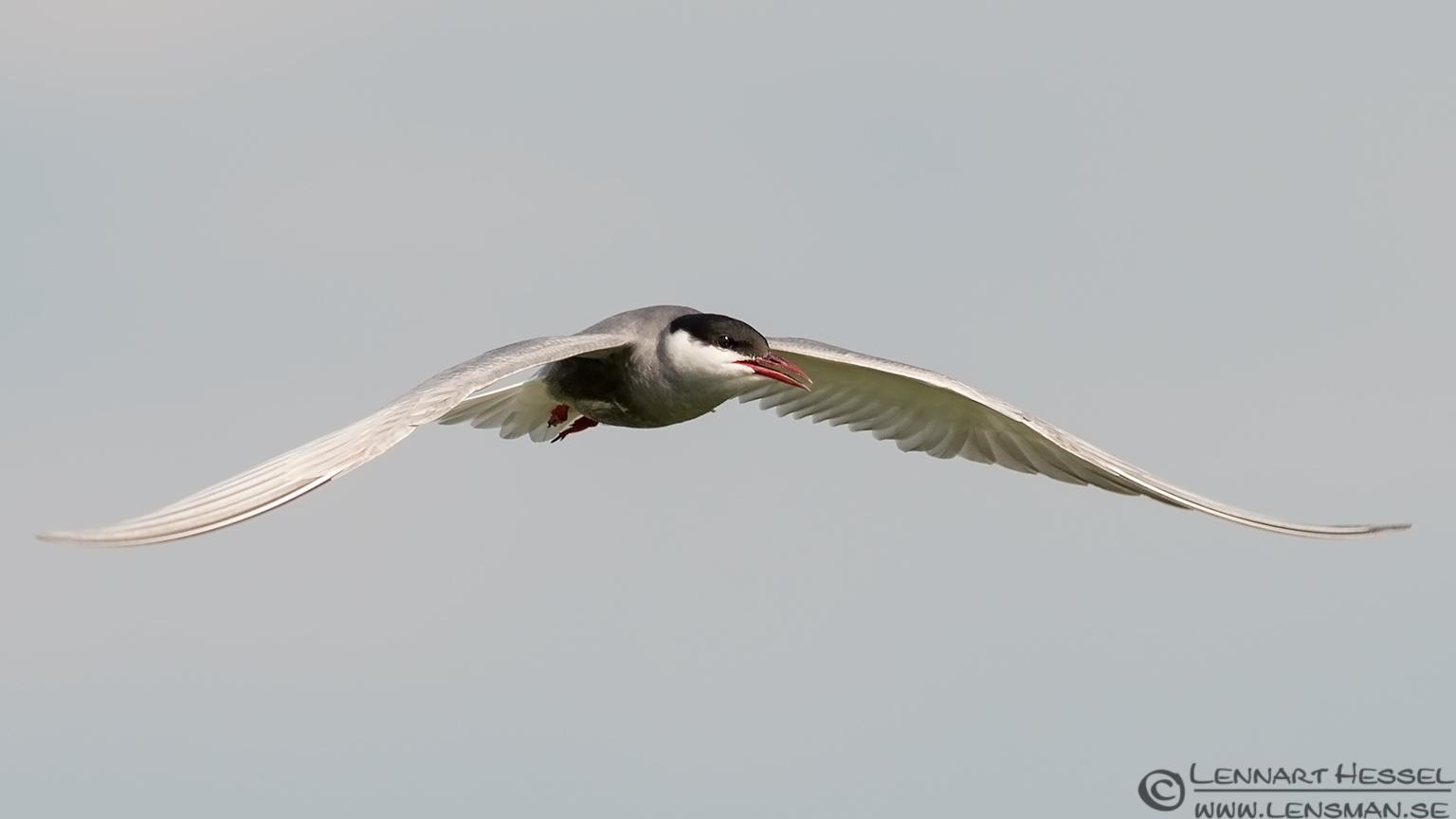 Whiskered Tern flight