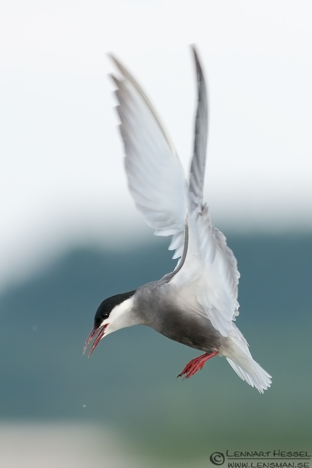 Whiskered Tern in profile